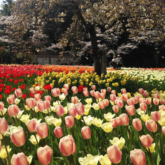 Flower-Park-Tulips-and-Sakura